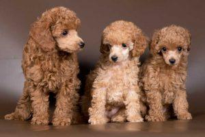 トイプードルは多頭飼いに向いている犬種?