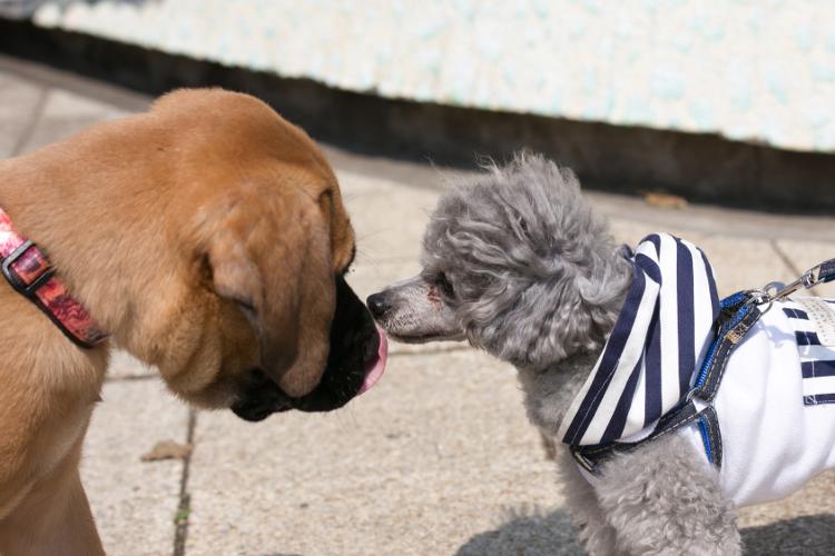 土佐犬とトイプードル