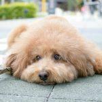 愛犬トイプードルのためにノミダニの対策が必要です!対策方法をご紹介