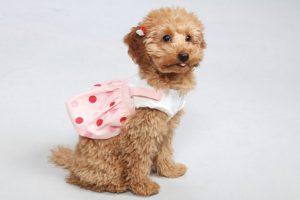 犬も膀胱炎になるの?かかりやすい犬種や対策について