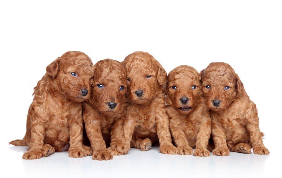 トイプードルの体重推移!あなたの愛犬は平均サイズ?