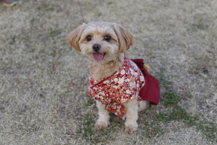 晴れ着の犬