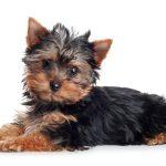 ヨークシャー・テリアの仔犬を選ぶ時のポイント