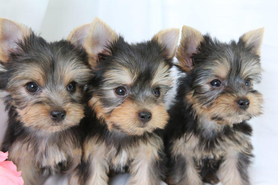 ヨークシャテリアの子犬の育て方。【2ヶ月~6ヶ月まで】