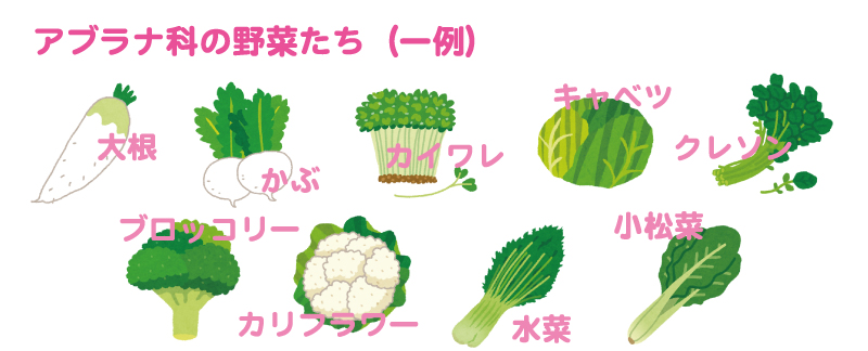 アブラナ科の野菜一例