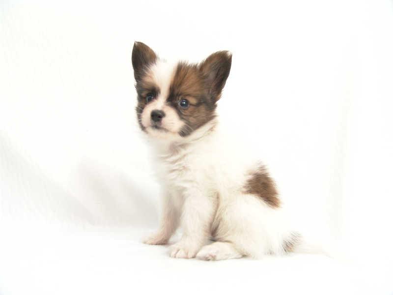 パピヨンの小犬画像