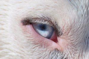 愛犬の目が赤く充血している!どんな病気の可能性がある?