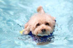 愛犬家に大人気のウォーターセラピー!ダイエット効果も!プールはいいことづくめ