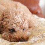 トイプードルの毛の特徴ご紹介!トイプードルは抜け毛が少ない犬種なの?