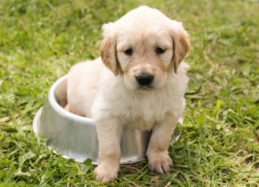 ゴールデンレトリバーの仔犬