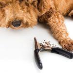 トイプードルの爪切りはどれくらいの周期でやればよいの?