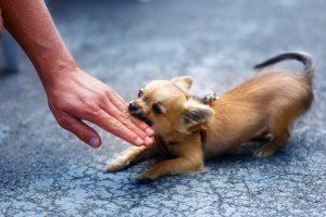 子犬の甘噛みは早めに直してあげるのが飼い主の役目です