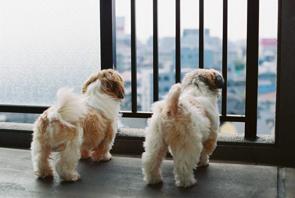 お外を見る犬