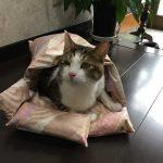 【猫の性格】キジシロは警戒心が強く賢い性格?人気のキジトラ・キジシロの性格特集