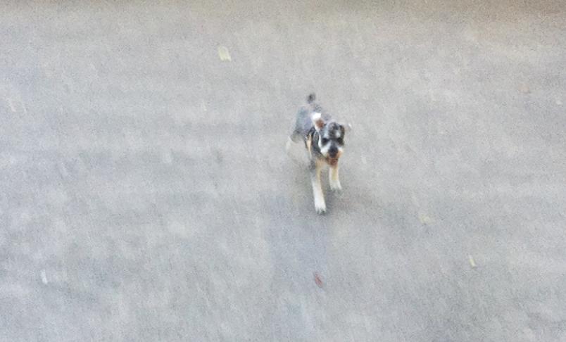 飼い主に向かってくるミニチュアシュナウザー
