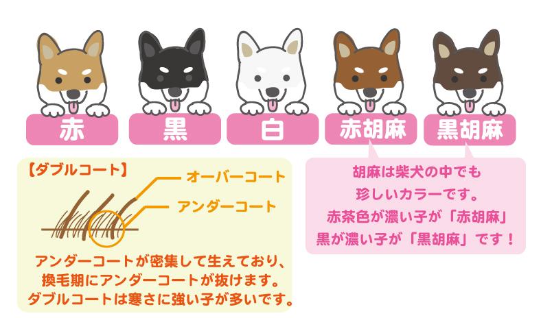 柴犬のカラーと被毛の特徴イラスト