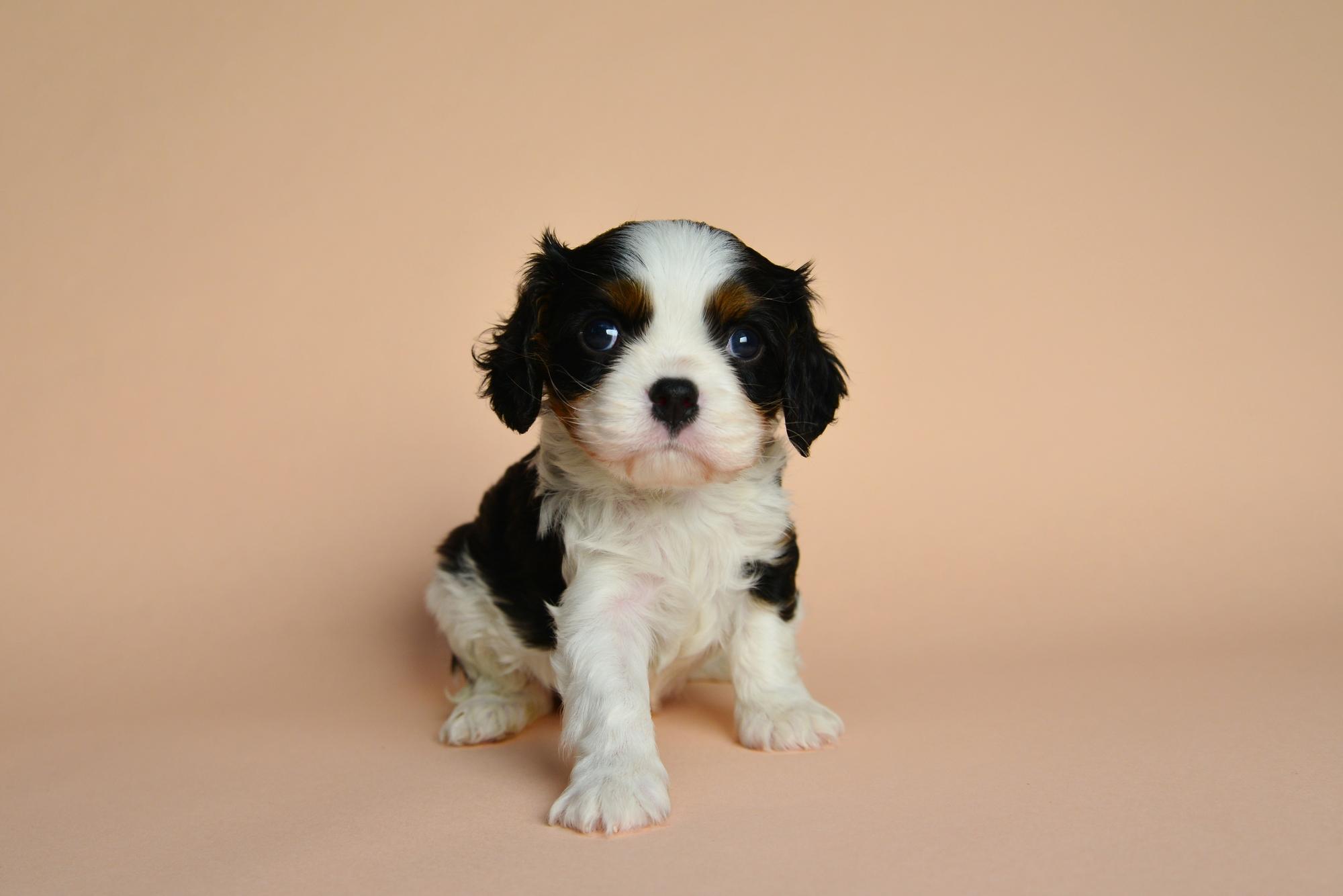 【獣医師監修】【重要】しつけは子犬の頃から始めよう!!子犬のしつけ方と注意点
