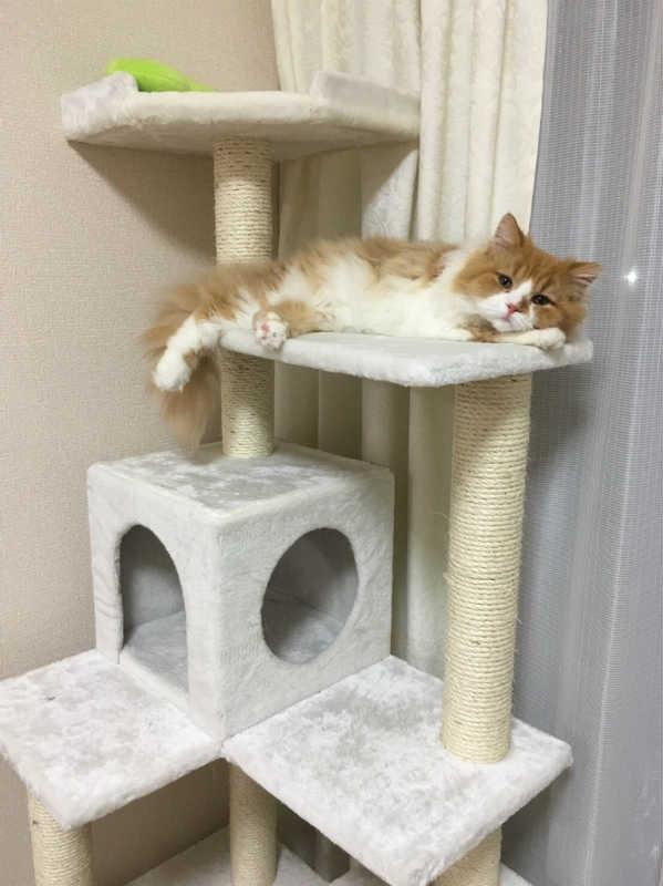キャットタワーでくつろぐ猫の画像