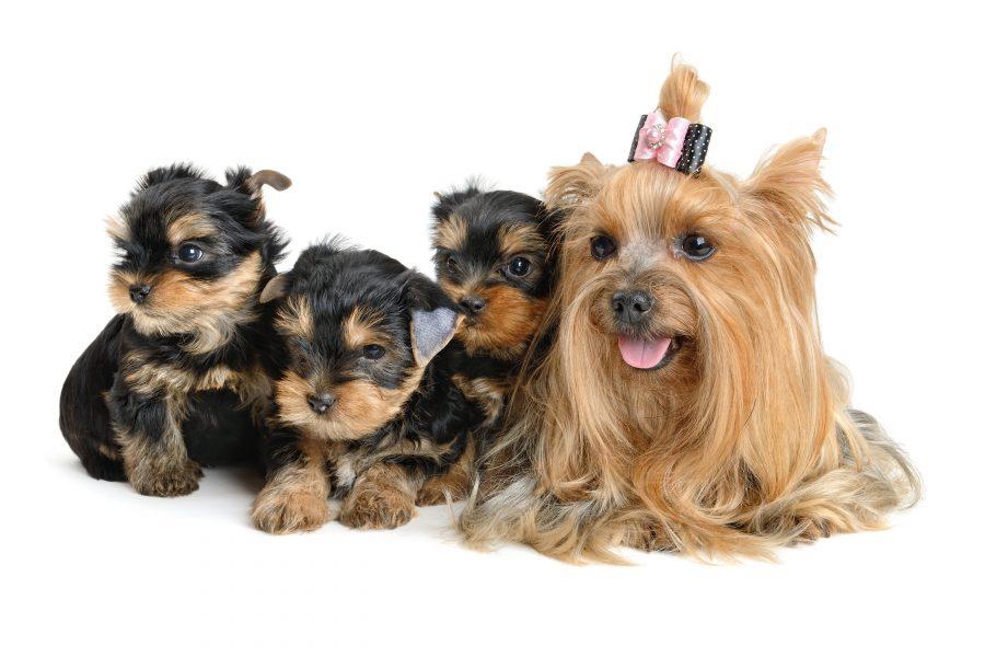 ヨークシャテリアの体重推移!あなたの愛犬は平均サイズ?