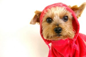 服選びのコツは正しい採寸にあり!愛犬のヨークシャテリアのサイズは?