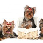 ヨークシャーテリアのかかりやすい病気。愛犬に長生きしてもらうためにできることは?