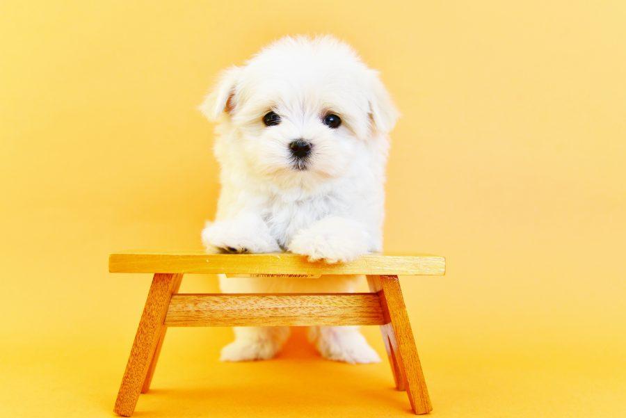 マルチーズの仔犬