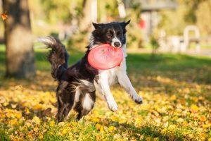 愛犬とドッグスポーツを楽しもう!「フリスビードッグ」に挑戦!!