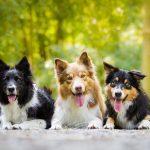 【犬種別のしつけ~ボーダーコリー編~】しつけ方のポイントと手順を紹介!