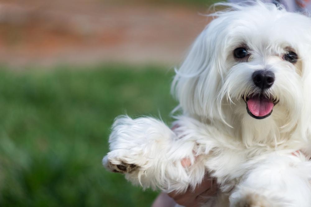 【犬種別のしつけ~マルチーズ編~】しつけ方法とポイントを紹介!