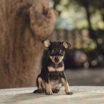 【犬種別のしつけ~ミニチュアピンシャー編~】しつけ方のポイントと手順を紹介!