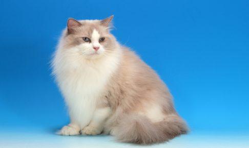 ラグドールは飼いやすい猫と評判!どんな性格?