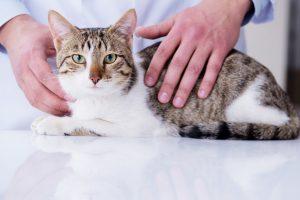 【獣医師監修】尿路結石症の猫が食事を食べない!単に味が好みじゃないから?原因と対策