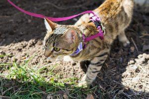 猫を散歩するならハーネスは必須!!猫を上手に散歩させる方法とは