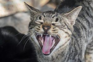 【獣医師監修】猫の口からよだれ!口臭が強い場合はこんな病気かも?熱中症の場合も