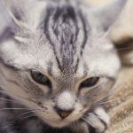 【獣医師監修】猫が慢性腎不全に!症状やおうちでできる手作り食のメリット