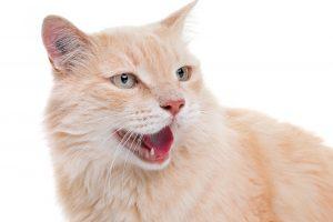 【獣医師監修】猫にお手入れしようとすると「シャー!!」お手入れ嫌いの猫チャン対策