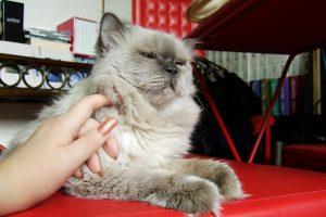 長毛の猫のブラッシングが大変!毛玉になったら手遅れ?お腹もするべき?