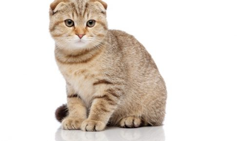 【猫価格】スコティッシュフォールドの値段の違いは販路の違いにあり?
