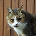 【獣医師監修】気を付けたい猫の目の病気|目ヤニがでる、涙が出る時も要注意!