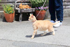 猫の室内飼いはストレス?リードやハーネスをつけて散歩しても大丈夫?