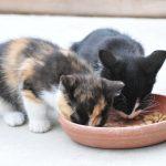 猫の食事でみんなが知りたい事5つ!どんな食事が理想的?残すのは何故?