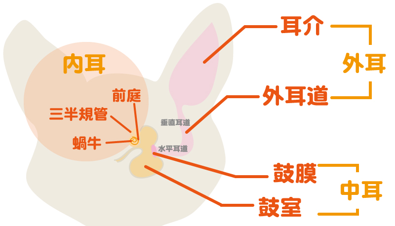 猫の耳の構造イラスト