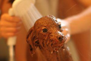 トイプードルはどれくらいの頻度でお風呂に入れる必要がある?