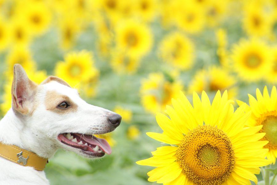 犬の日焼け