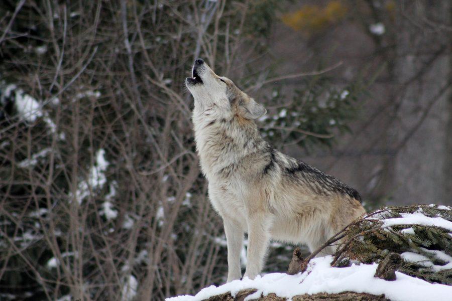 狼の遠吠え