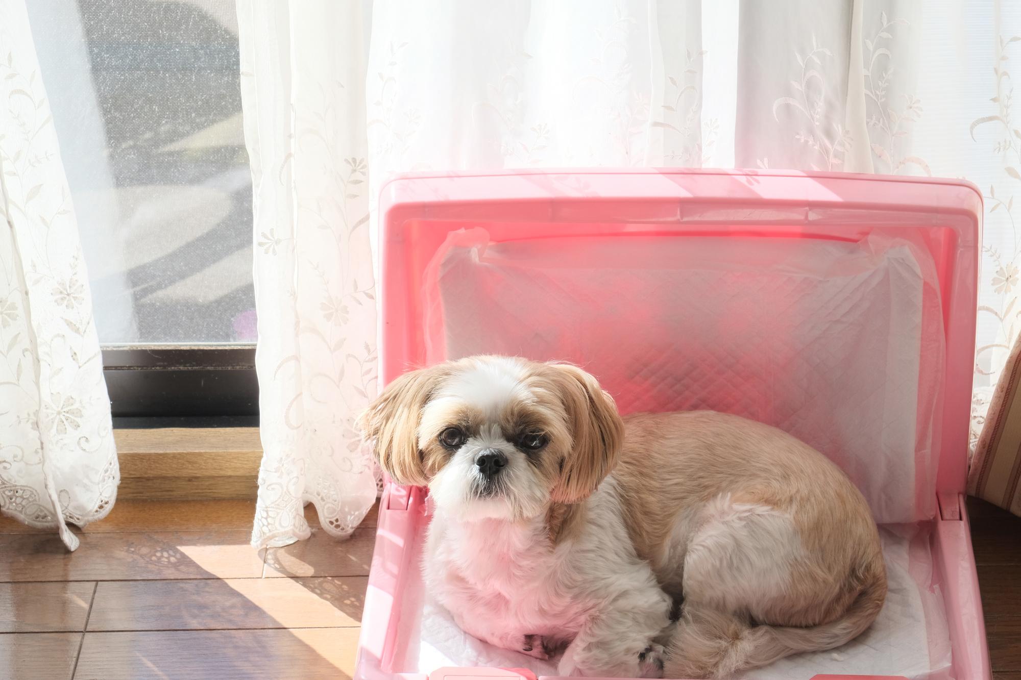 外から帰ると犬のウンチだらけ!留守番の時トイレを失敗させない工夫