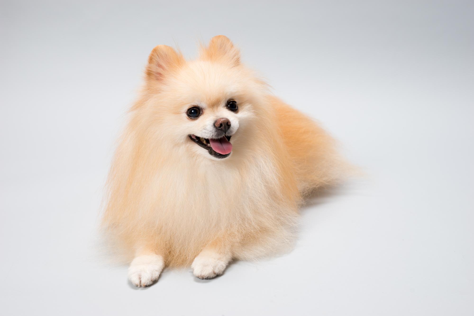 小型犬で人気の種類は?トイプードルみたいに温厚で賢い犬?