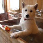 犬のシャンプーの頻度~年齢や犬種、飼う場所によって変わります