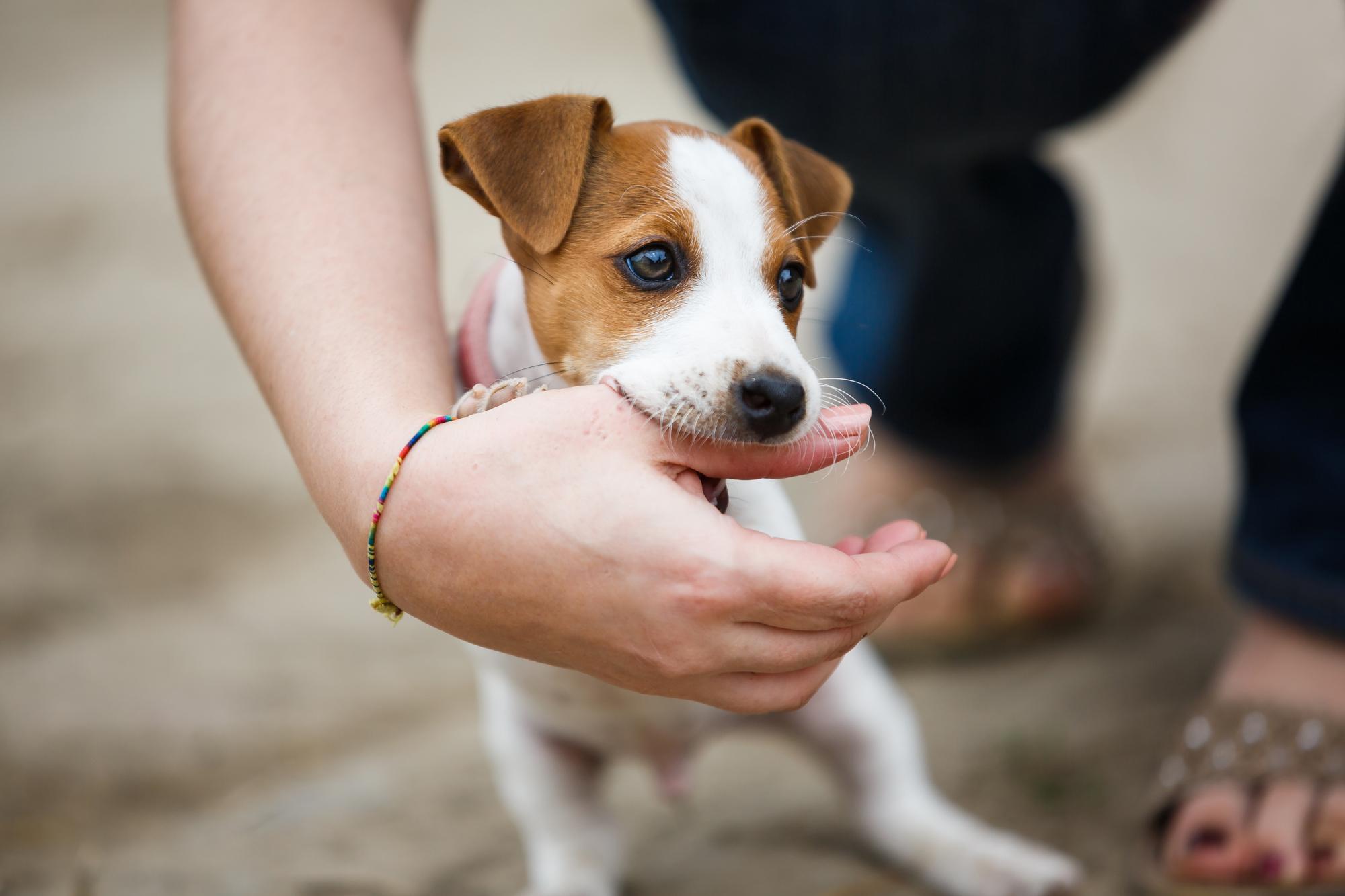 Resultado de imagen para jack russell terrier 犬 遊ぶために