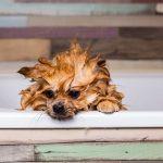 犬にお風呂って必要なの?犬も気持ちいいの?お風呂頻度・温度・コツとは